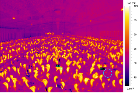 poultry temperature in barn design.png